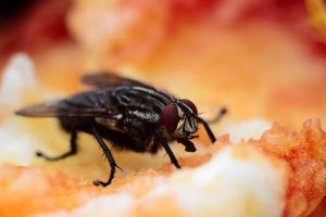 flies are food safety hazards