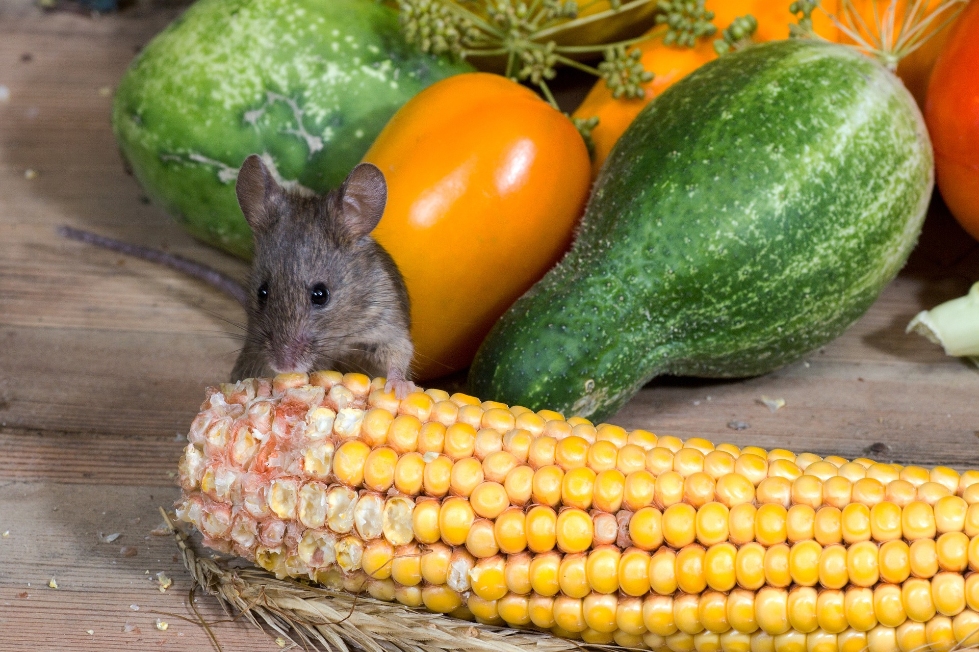 mice are food pests